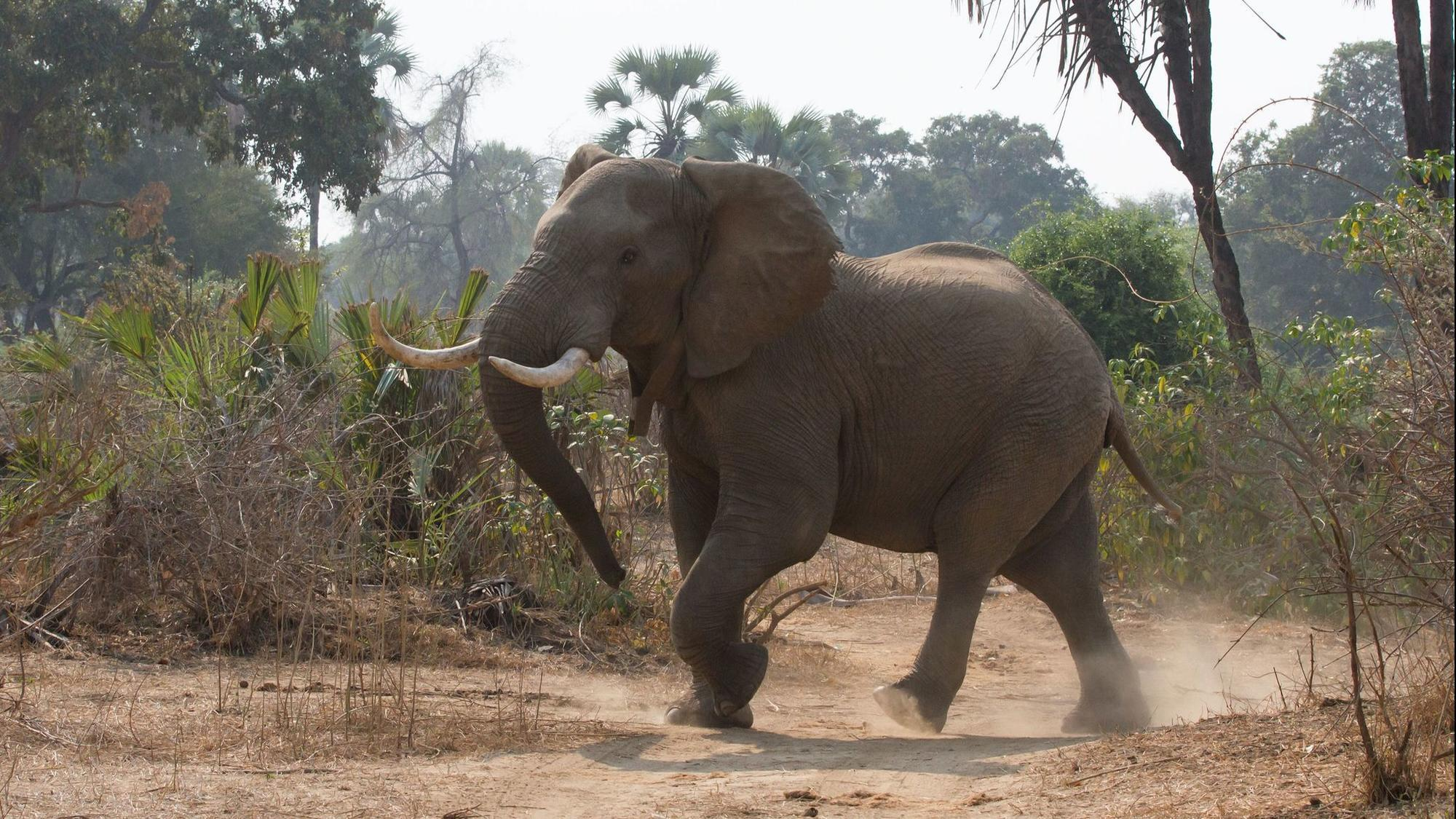 Trump's cave to elephant and lion hunters - Chicago Tribune  Trump's cave ...