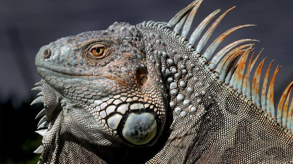 To combat iguana problem, researchers bash in reptiles' heads