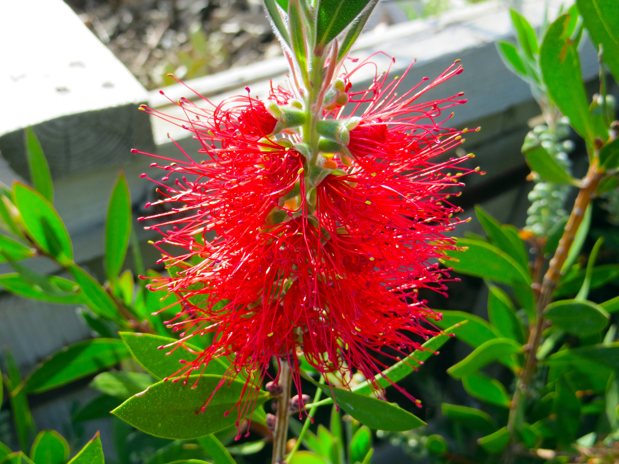 little john bottlebrush