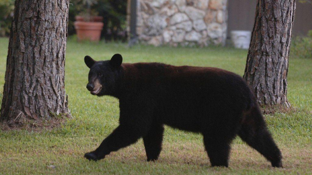 Longwood Family Surprised To Find Bear Trapped Inside Suv