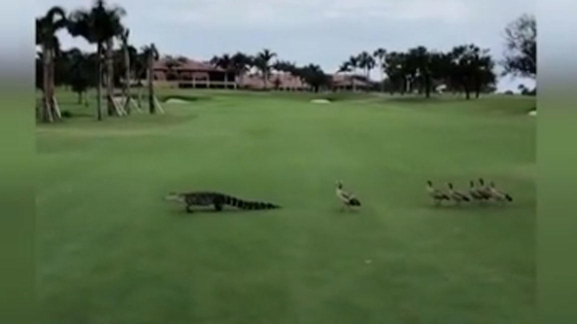 Where Is Jupiter Florida >> Geese flip the script, chase off alligator on Florida golf ...