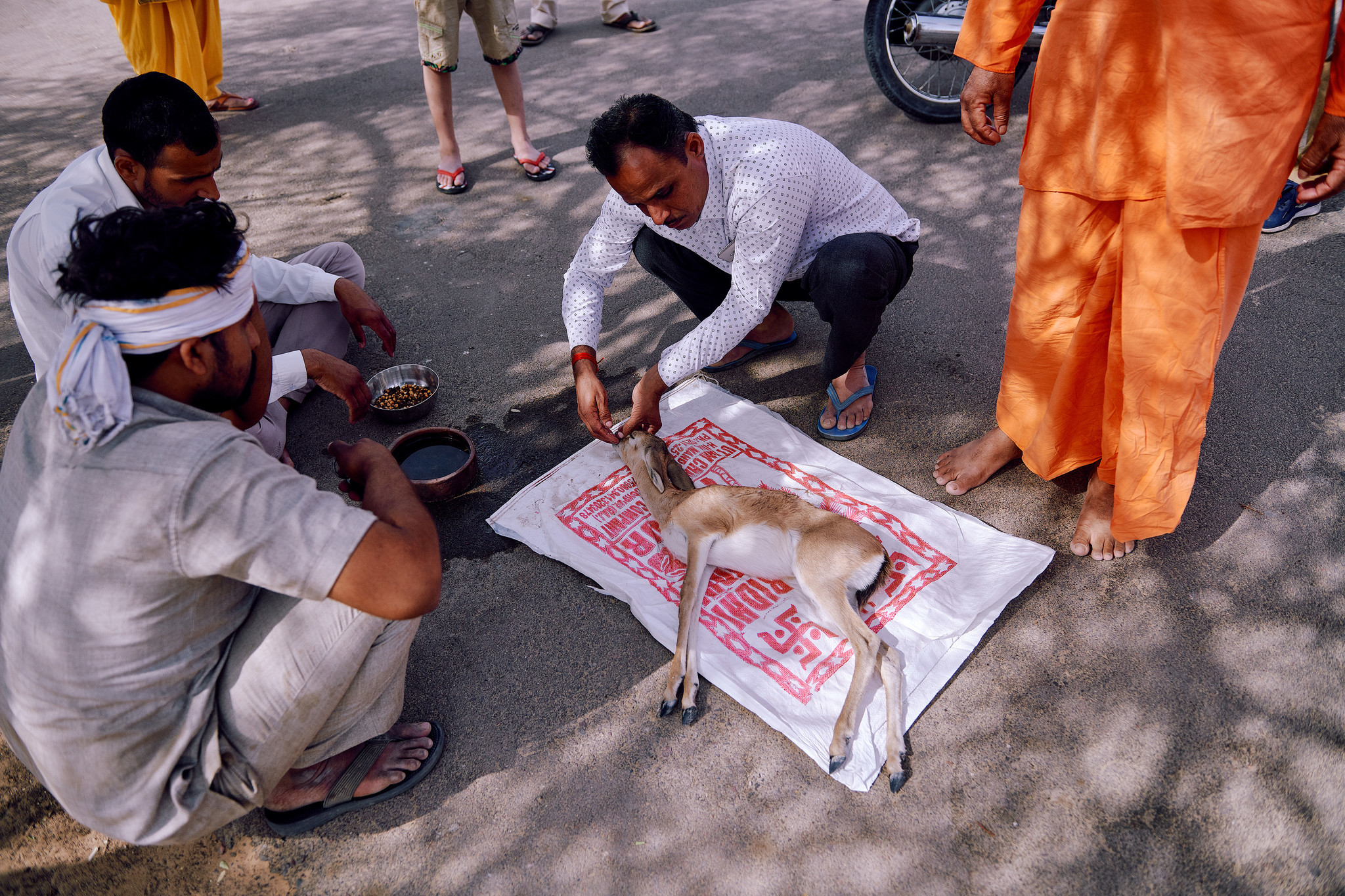 The caretaker feeding water to the sick fawn that just came in at the temple in village Jajiwal near