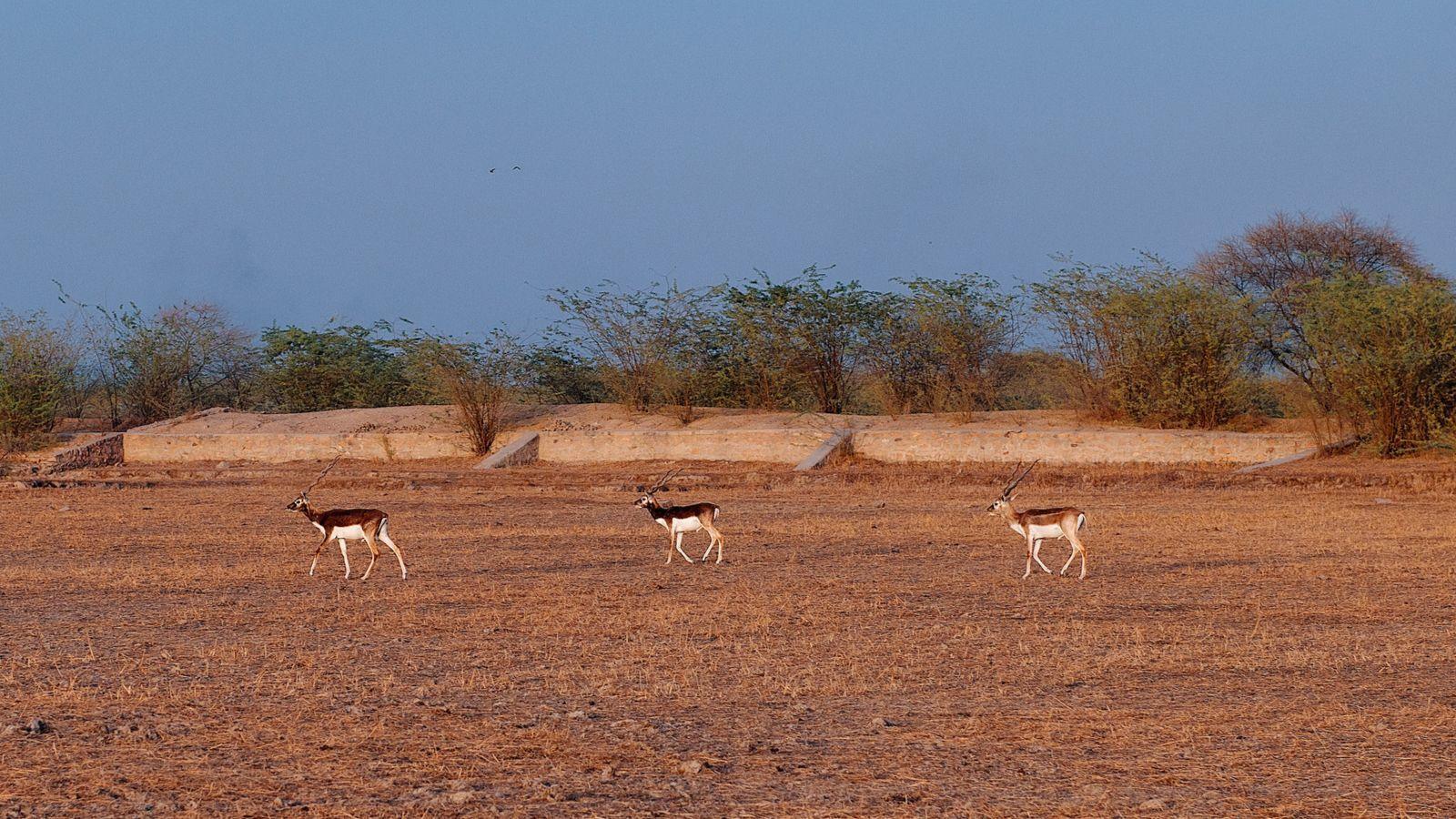Black bucks roaming freely in village Guda Vishnoiyan near Jodhpur, Rajasthan.