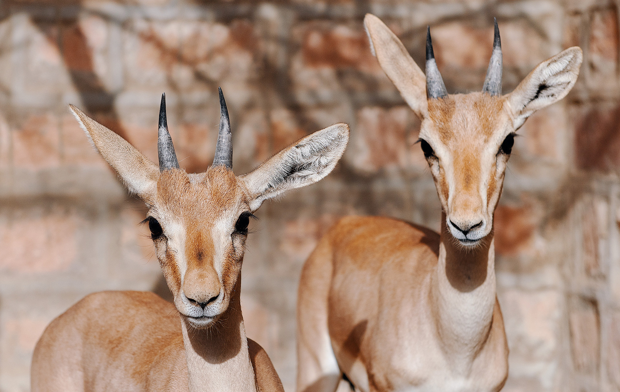Two young deer at the rehabilitation facility for animals the temple in village Jajiwal near Jodhpur