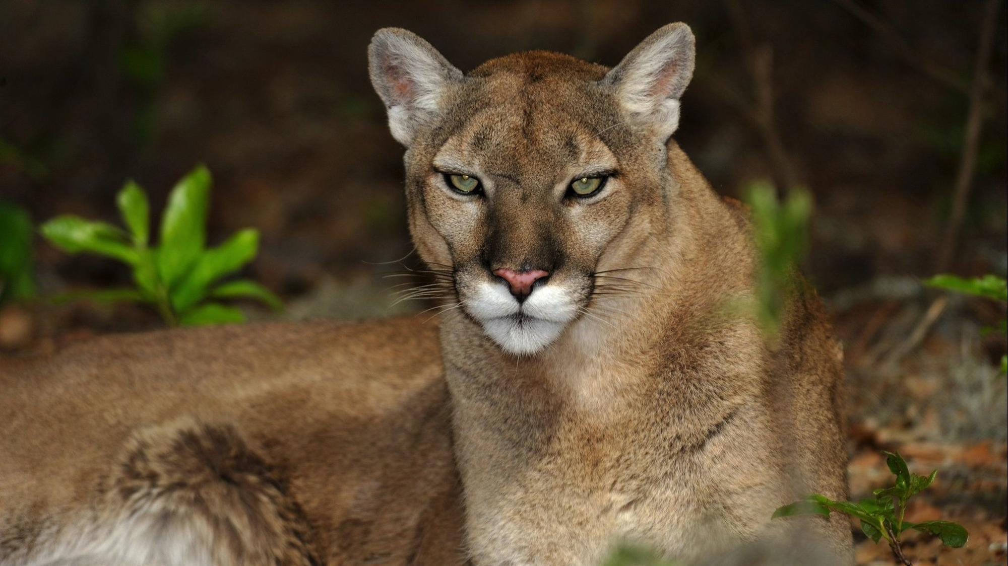 After Florida panther attack, state officials alerting and ...