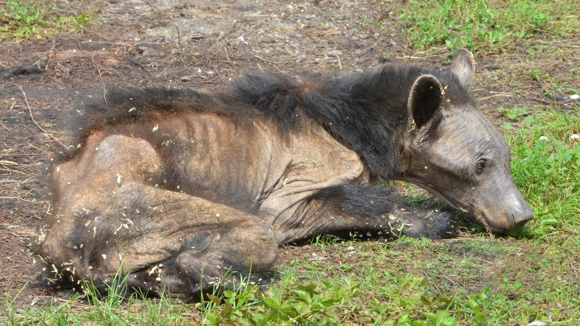 extreme form of mange spreading among pennsylvania black bears the