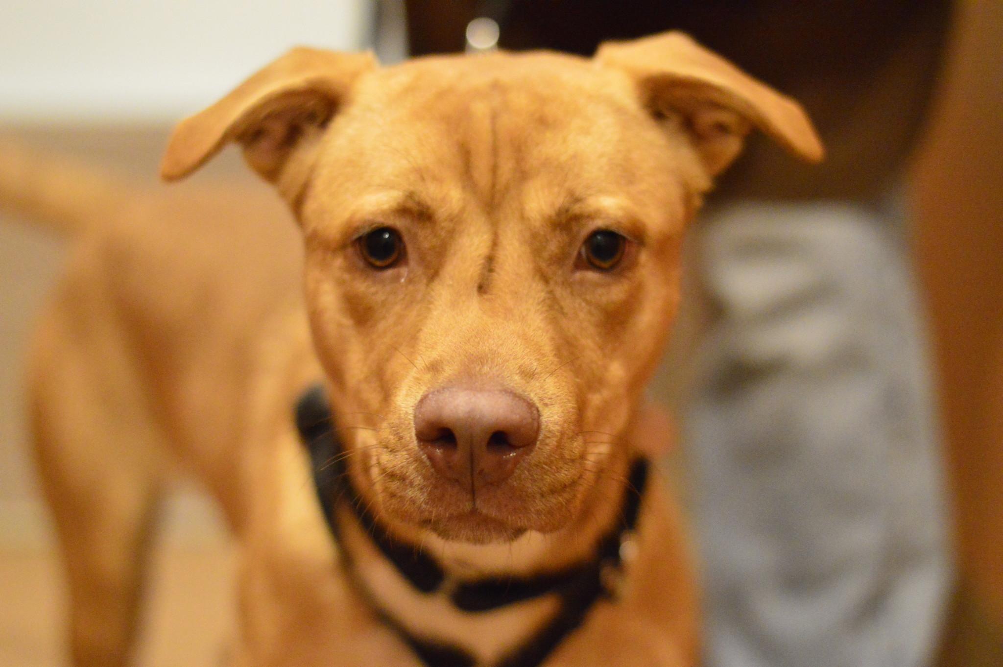 Adopt Juno at PAWS Chicago