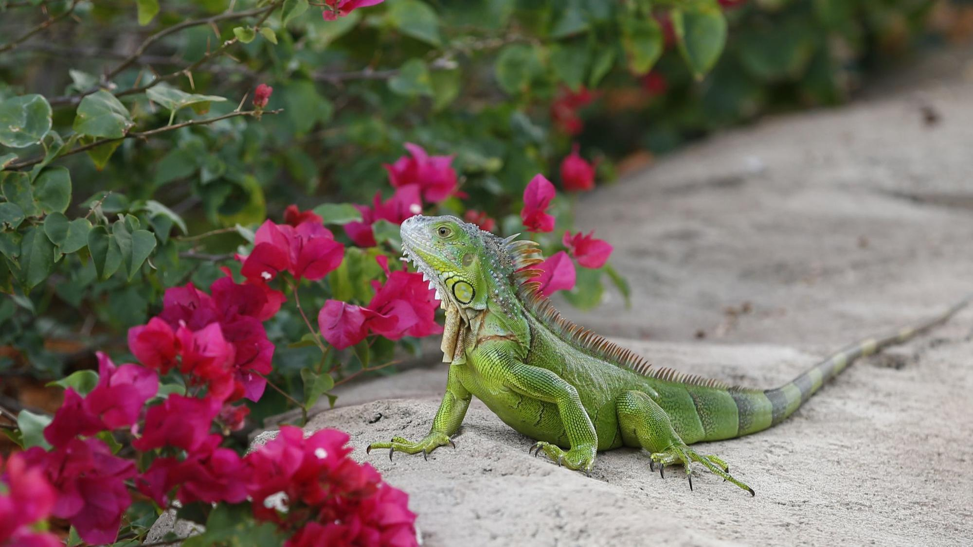 Expert Tips On How To Control Iguanas Sun Sentinel