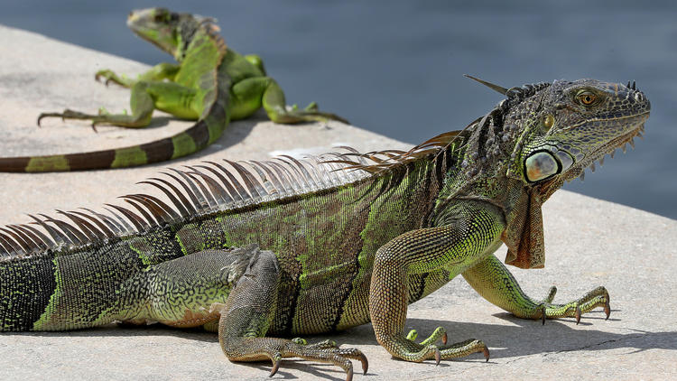 Photos: Iguanas becoming a scourge in South Florida