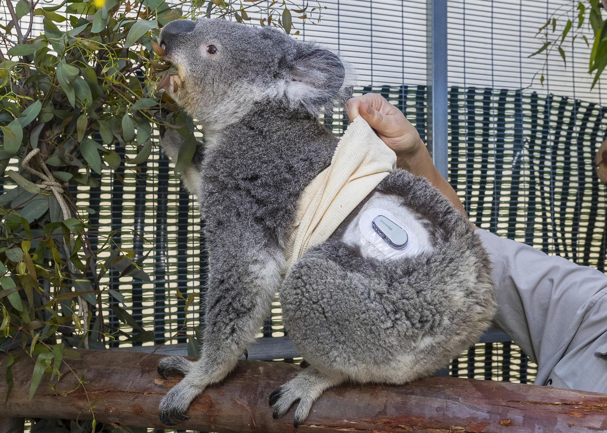 Quincy The San Diego Zoo S Diabetic Koala Gets Help From
