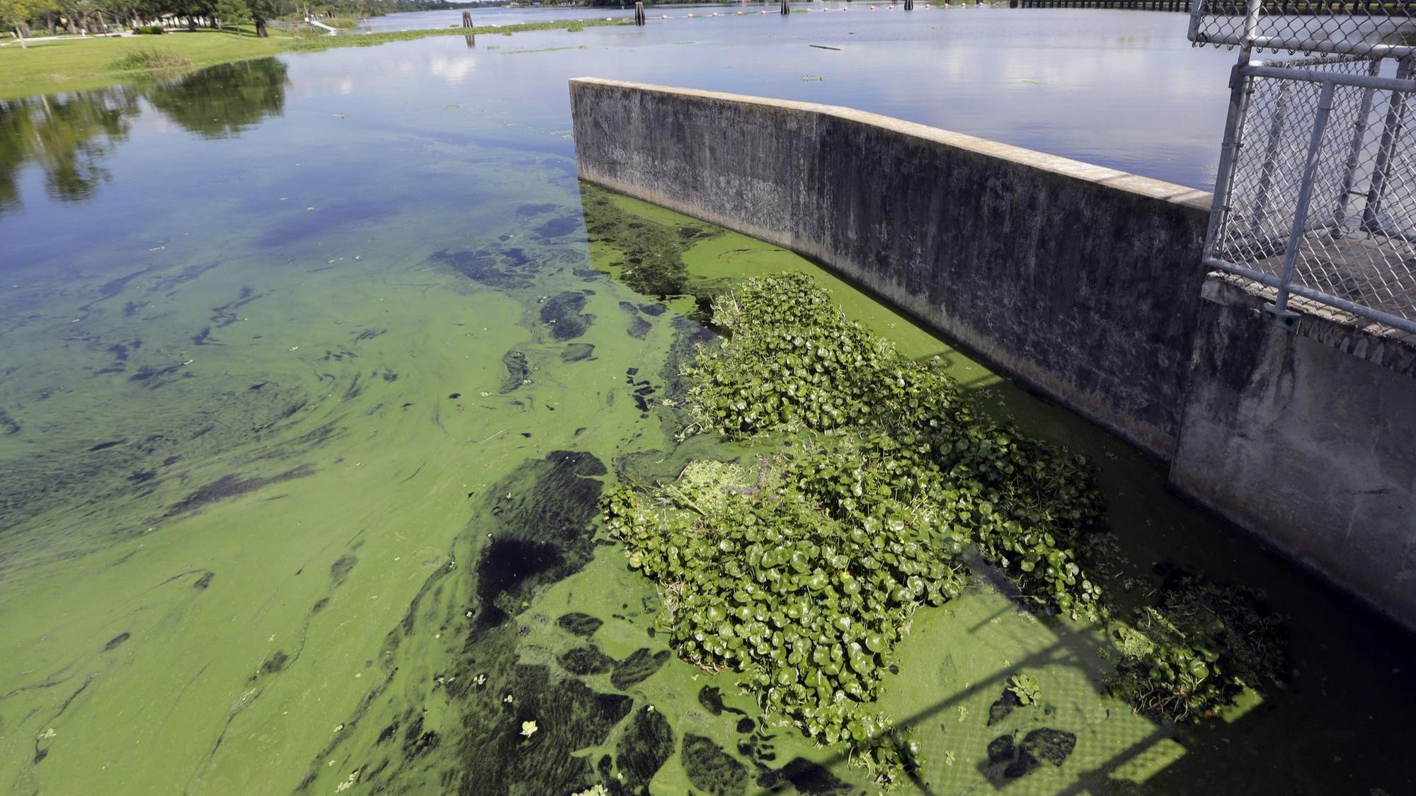 Goopy Green Water Flows From Both Sides Of Lake Okeechobee