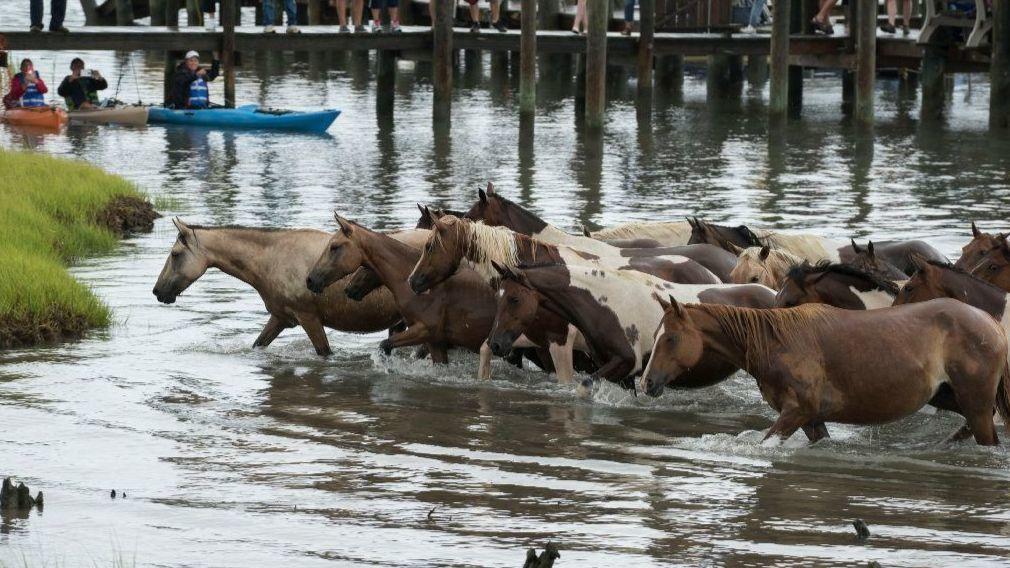 The 93rd Chincoteague Pony Swim