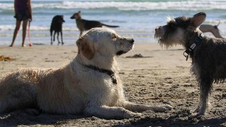 Del Mar Roves New Rules For Off Leash Dog Walking Beach