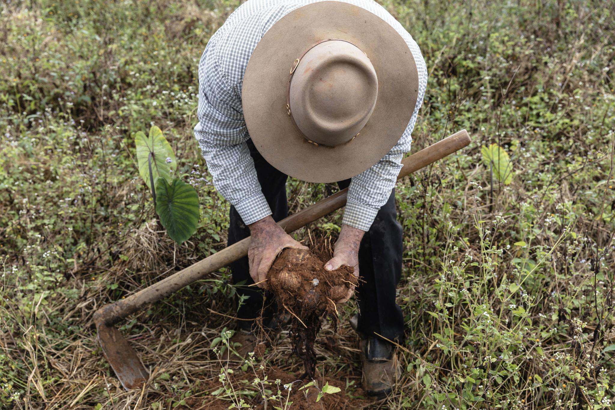 São Paulo, July 25th 2018, Joaquim dos Santos, 69, harvesting fresh organic yamm.