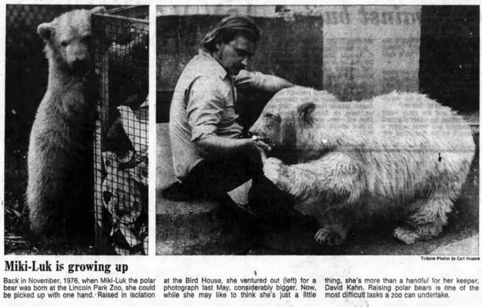 Miki-luk the polar bear raised by Lincoln Park Zoo keepers