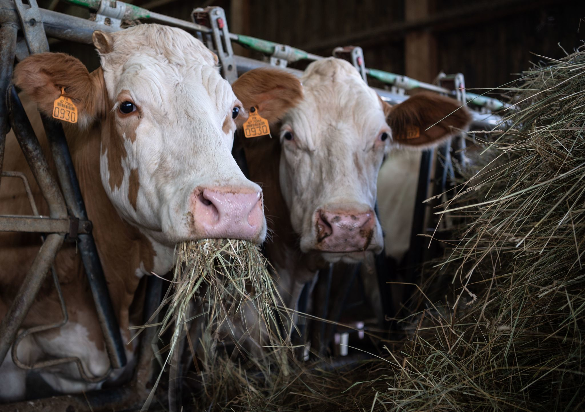 Three men face over 1,400 counts each of sexually abusing farm animals -  The San Diego Union-Tribune