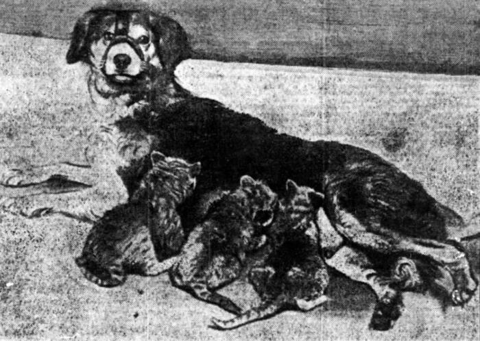 Dog 'foster mom' to lion cubs, 1909
