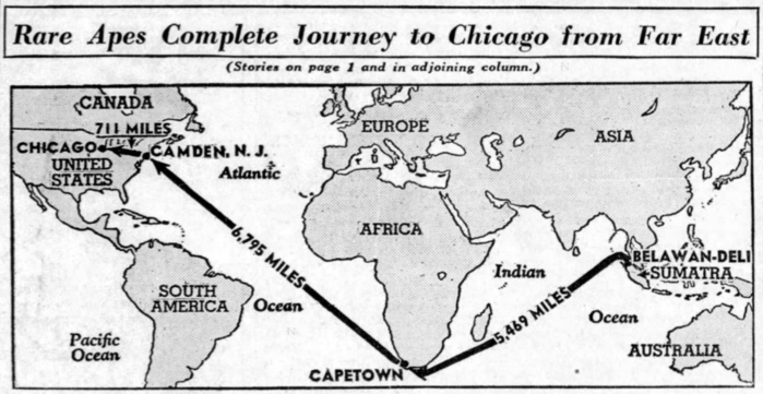 Journey of two orangutans to Chicago from Sumatra, 1940