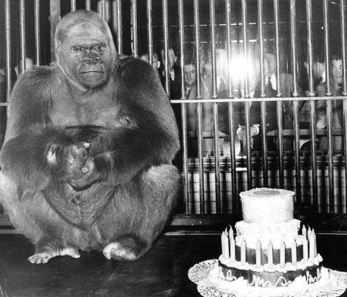 Bushman the Gorilla - YouTube  |Bushman Gorilla Death