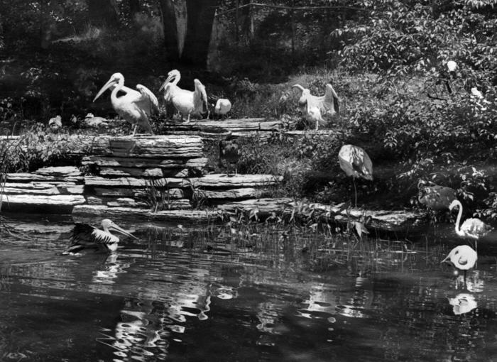 Rookery at Lincoln Park Zoo, 1946
