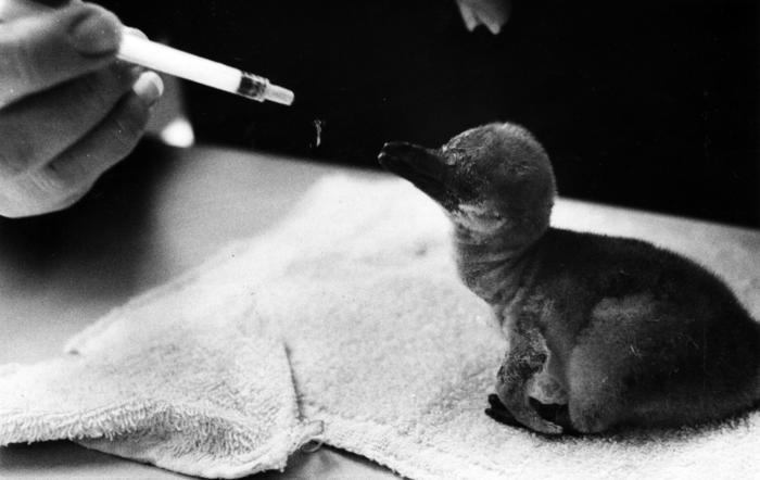 New penguin at Lincoln Park Zoo, 1982