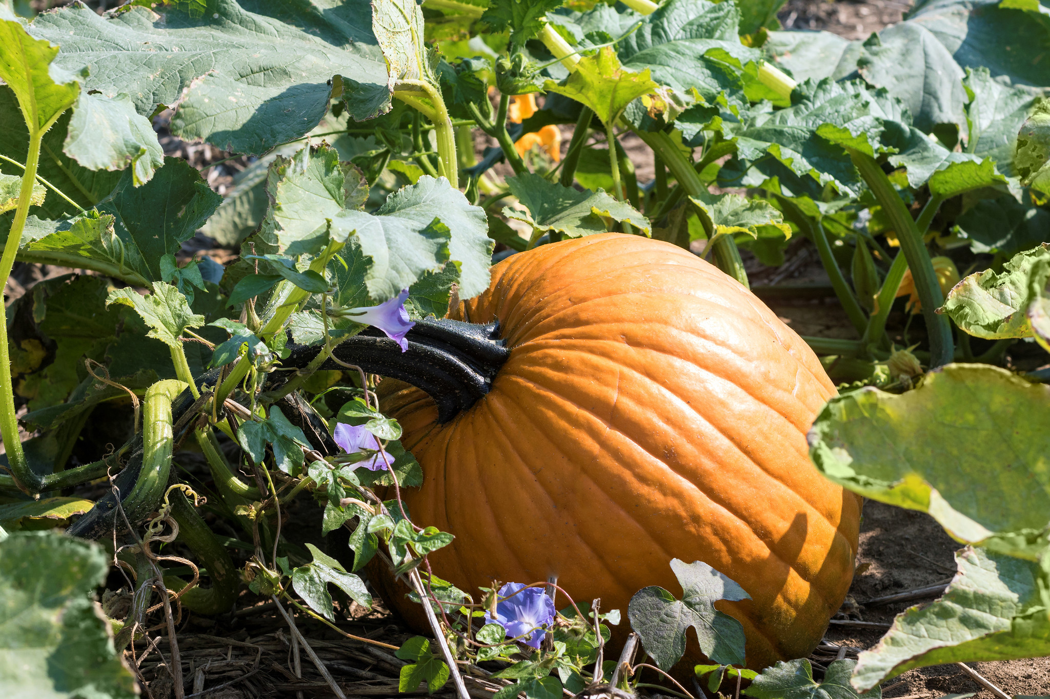 Pumpkin in the field. ** OUTS - ELSENT, FPG, CM - OUTS * NM, PH, VA if sourced by CT, LA or MoD **