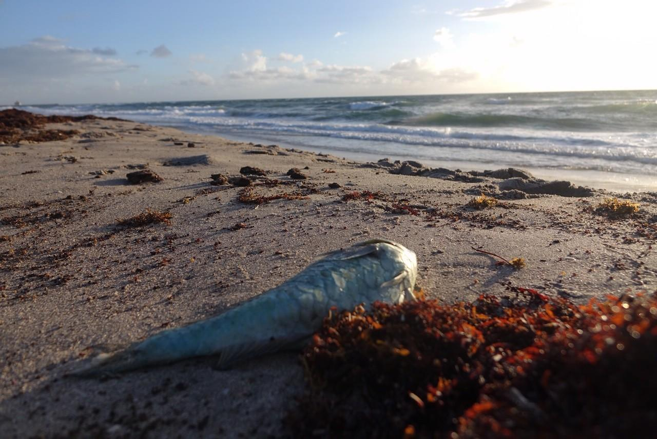 Red Tide Plagues Florida Beaches On All Sides Of State For