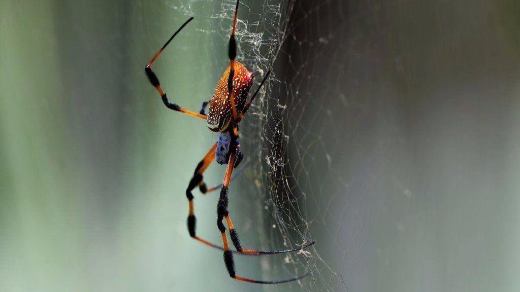 Here S Why So Many Banana Spiders Are Crawling Around Florida Right