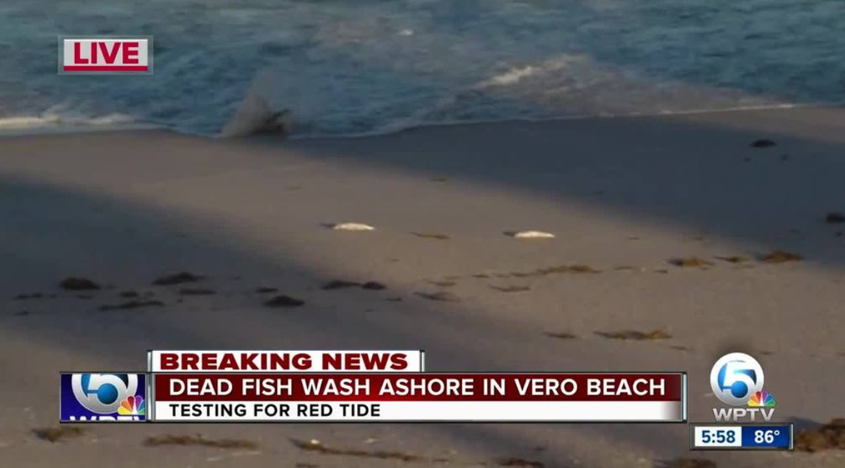 Dead Fish Found In Brevard And Indian River Counties Red Tide