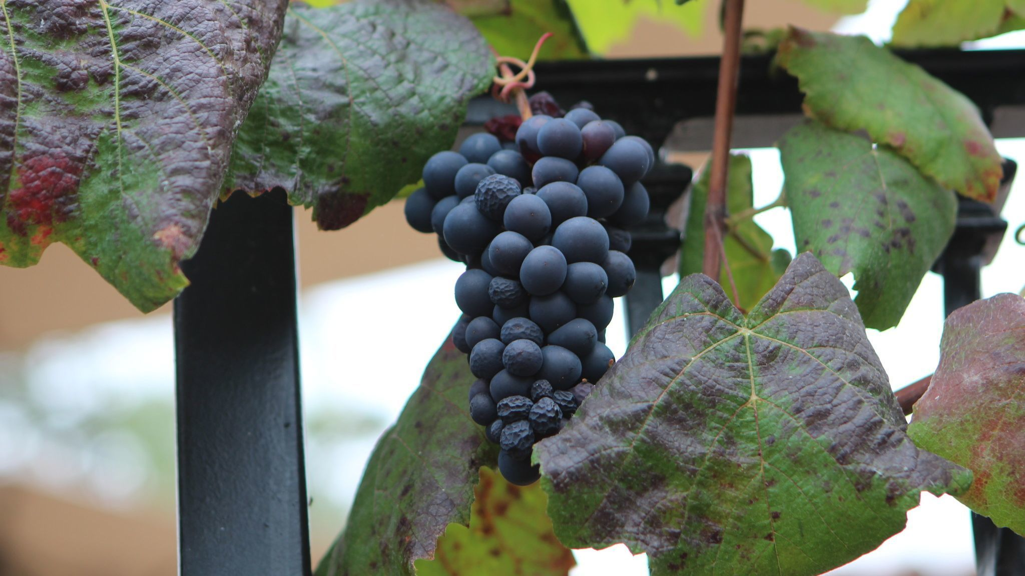 A bunch of purple grapes grows on the railings in Erin McConkey's backyard.