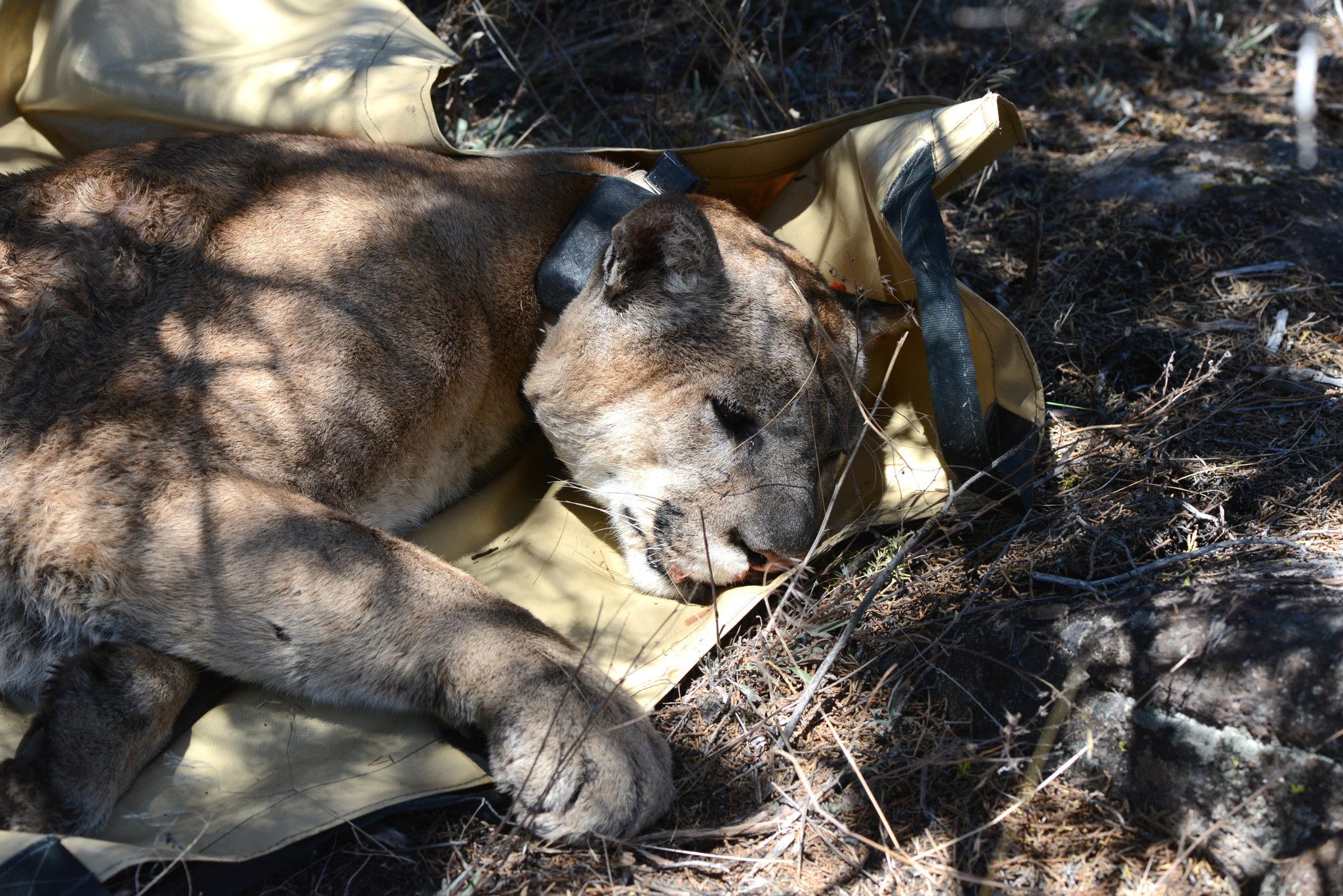 This mountain lion, known as No. 166, lives in Modoc National Forest and mainly feeds off wild horse