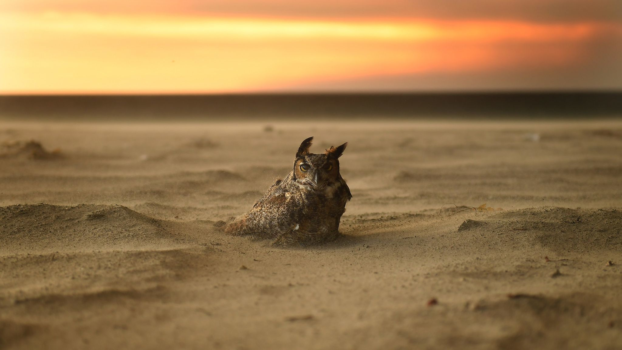 MALIBU, CALIFORNIA NOVEMBER 9, 2018-An owl sits onthe beach in Malibu as the Woolsey Fire approaches