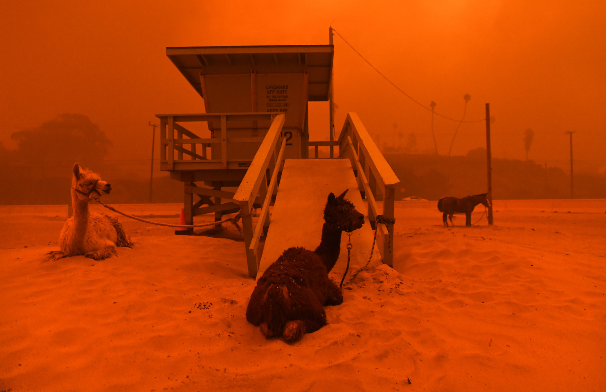MALIBU, CALIFORNIA NOVEMBER 9, 2018-Llamas are tied to a lifeguard stand on the beach in Malibu as t