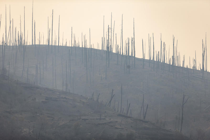 Burned trees on a hillside in Concow, Calif.