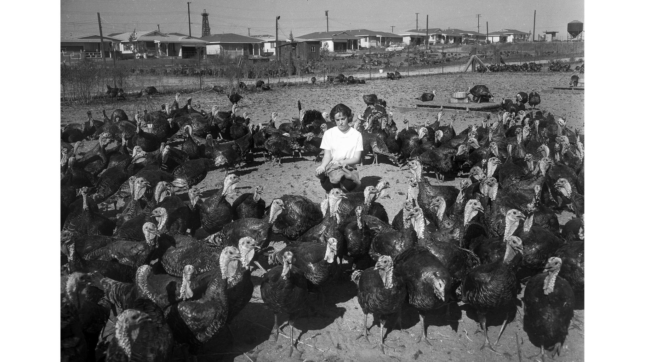 Nov. 1959: Diane Vaccaro is surrounded by birds at the only turkey ranch left in Torrance. The other
