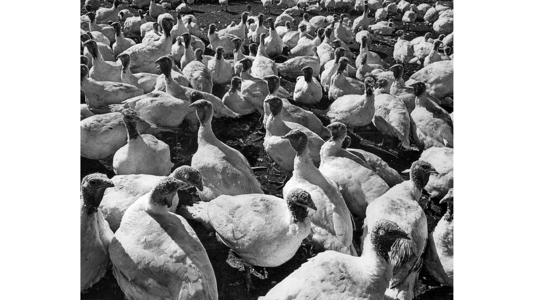 Nov. 2, 1978: Turkeys at the Schaefer's BBB Turkey Ranch in Chino. This photo was published in the N