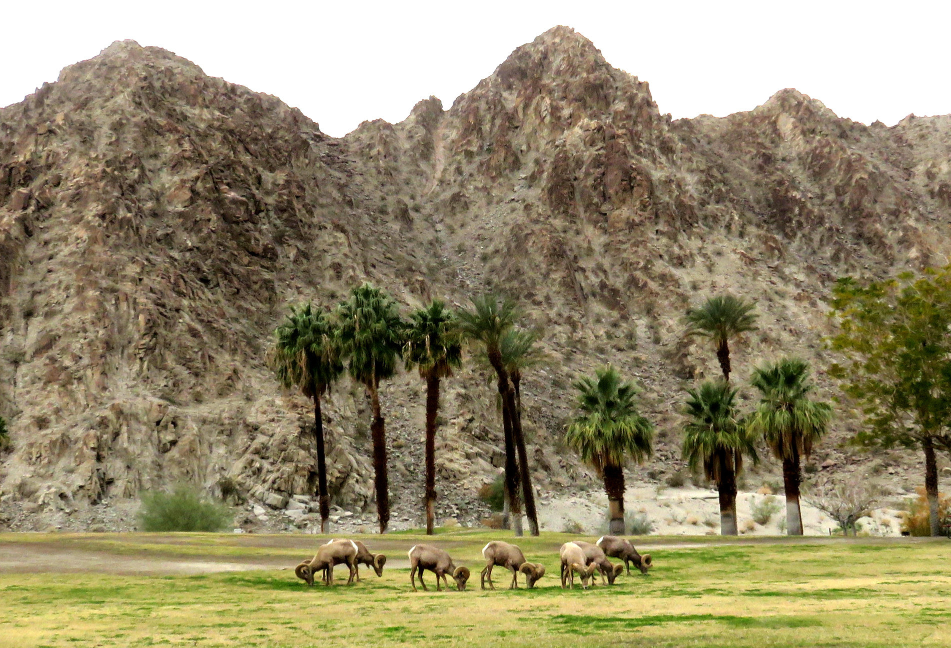 Bighorn sheep at Lake Cahuilla in LA Quinta. Mandatory Credit: Bighorn Institute)