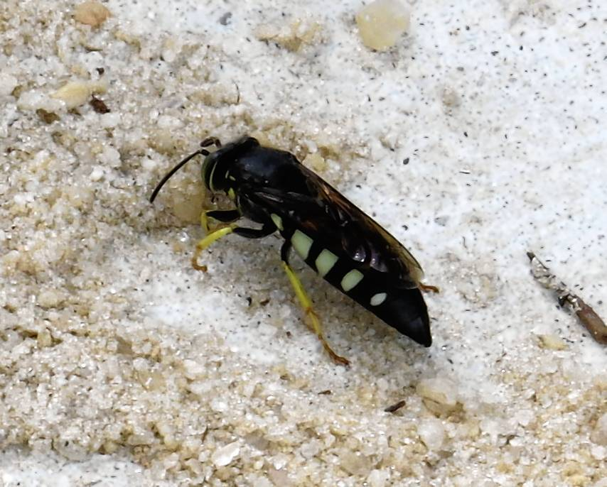 Sand wasps, one of nature's small wonders - Orlando Sentinel