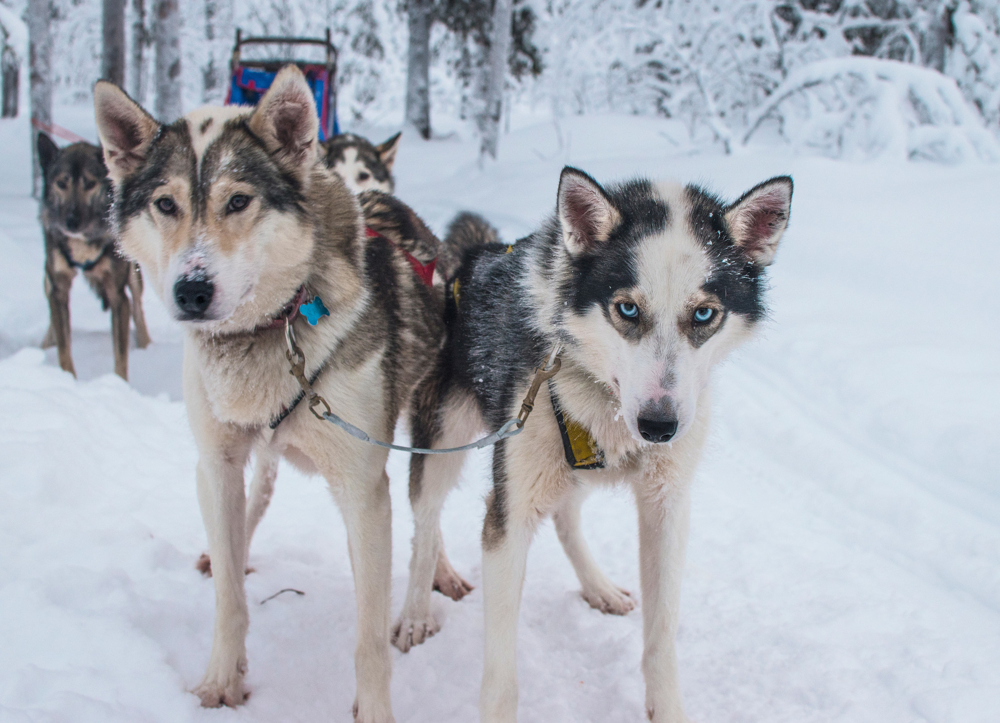 Dog sledding inside the Arctic Circle in Swedish Lapland - My team of dogs for the week. (L to R) L