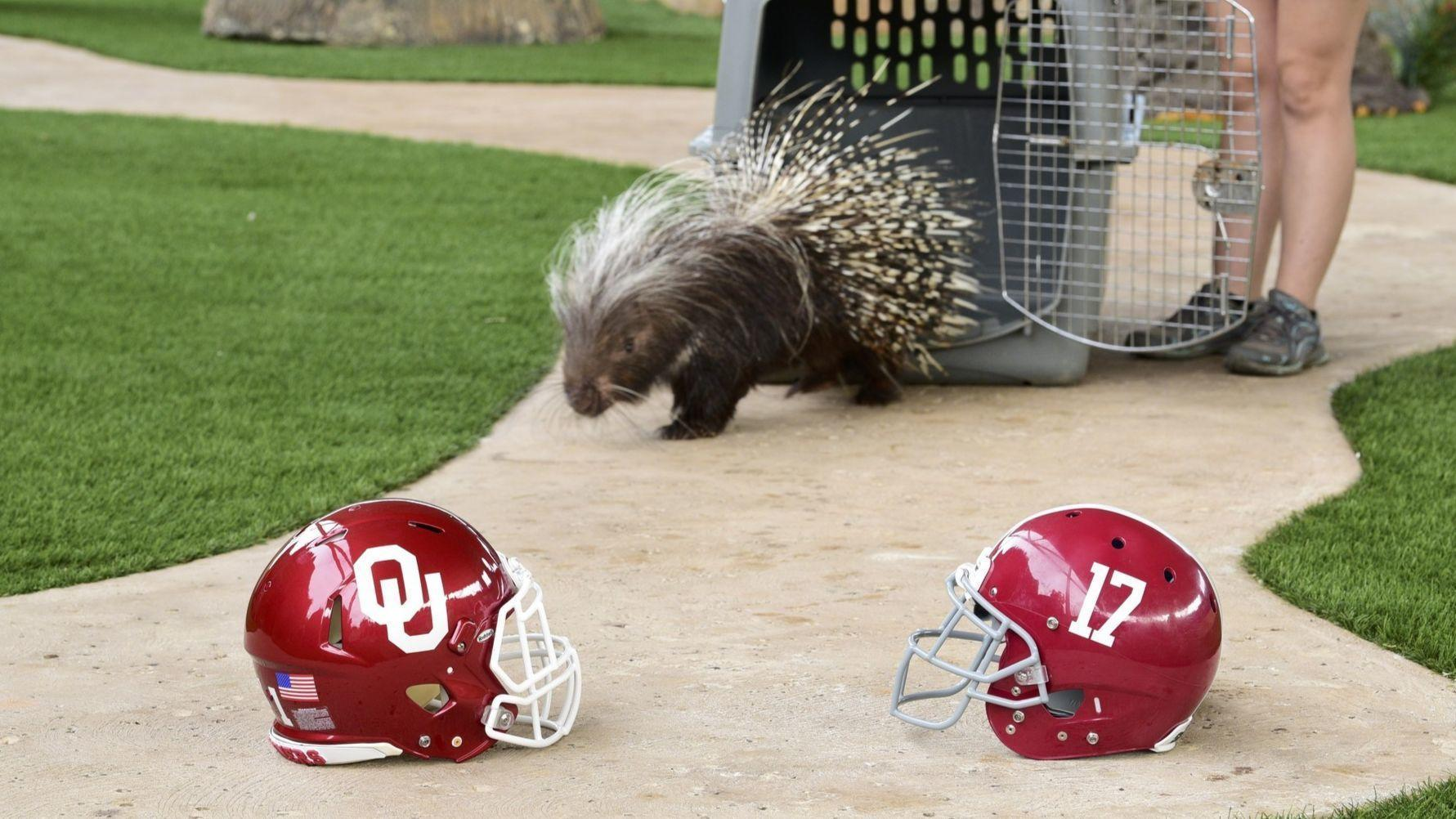 Oklahoma or Alabama? Porcupine predicts winner of College ...