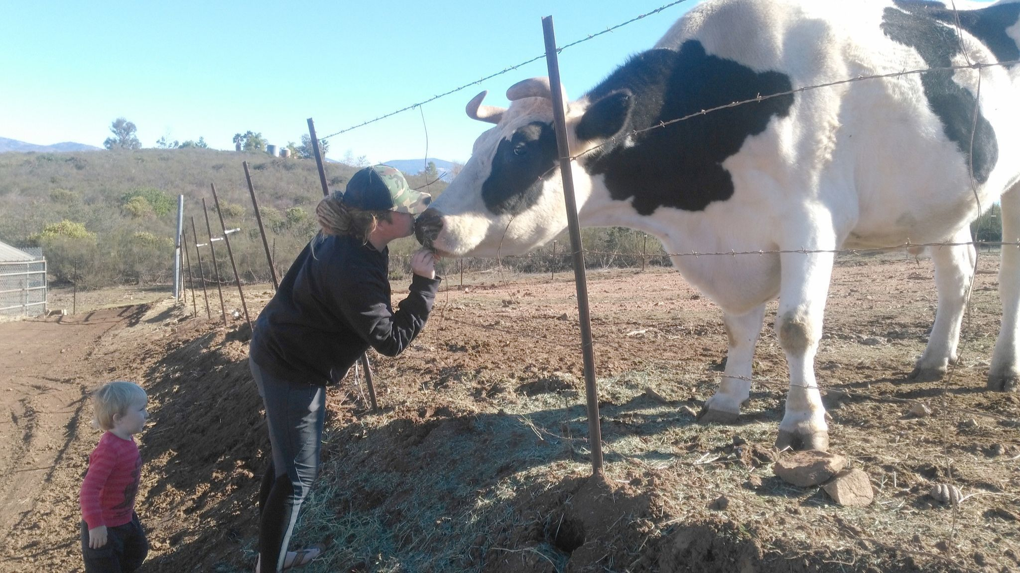 Lindsey Crouse kisses Cowboy while her 3-year-old son, Sage Walker, helps feed him. News of a comparably sized cow in Australia named Knickers set off an online contest for size.