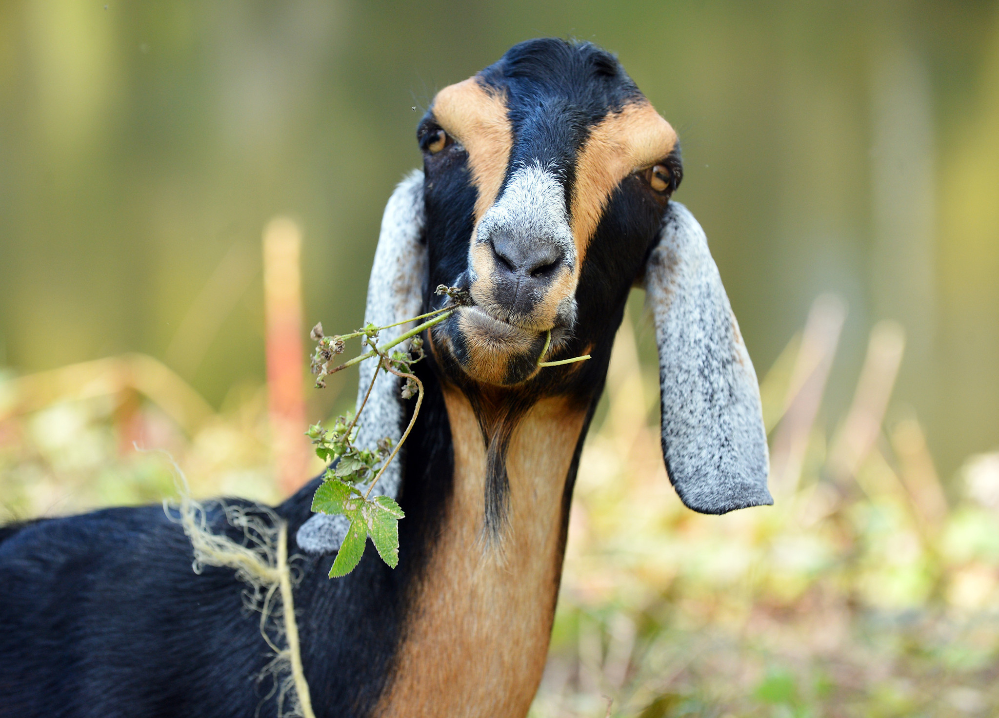 Easton says 'no' to bleating, furloughed federal goats ...