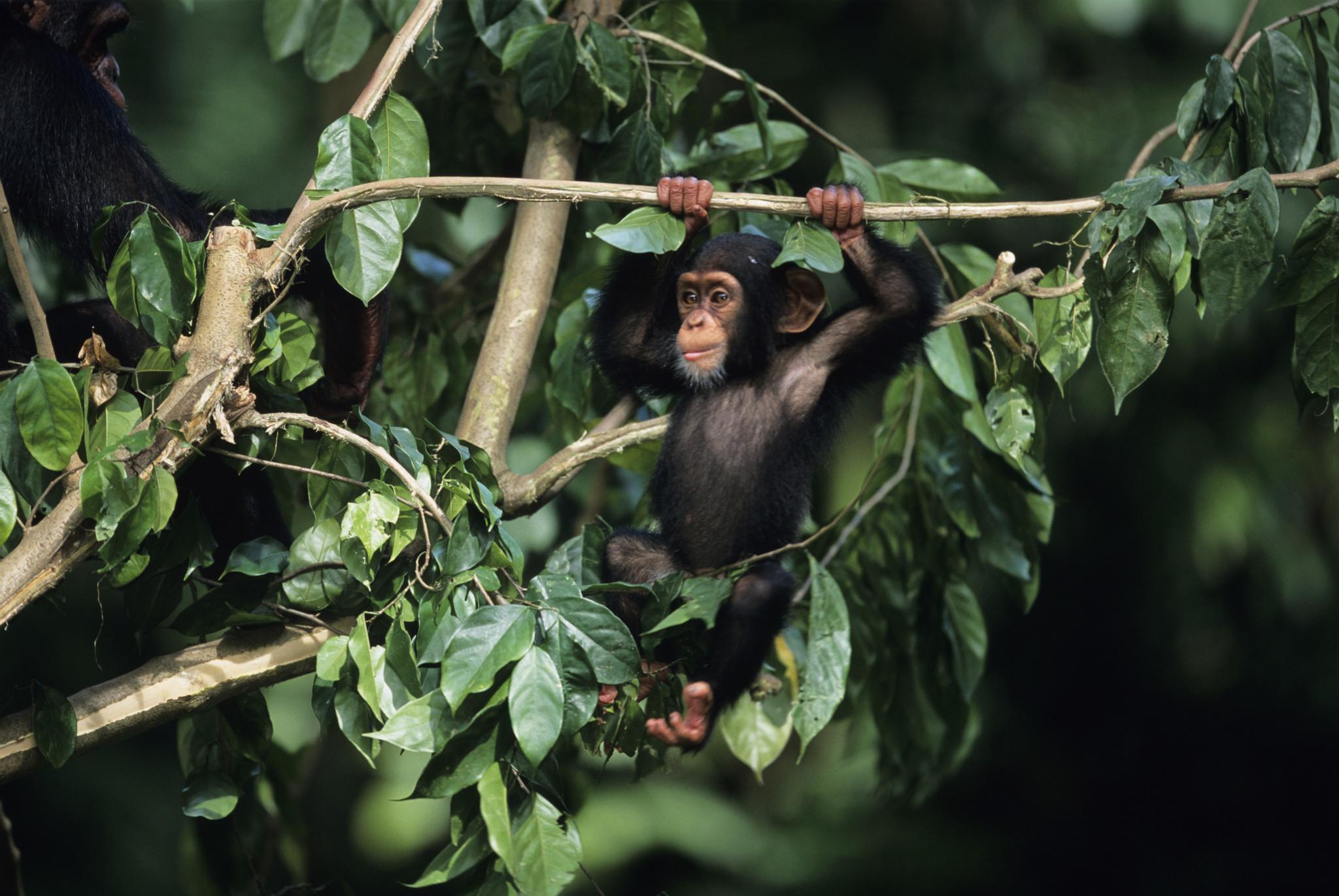 Young chimpanzee (Pan troglodytes) hanging on tree branch, close-up