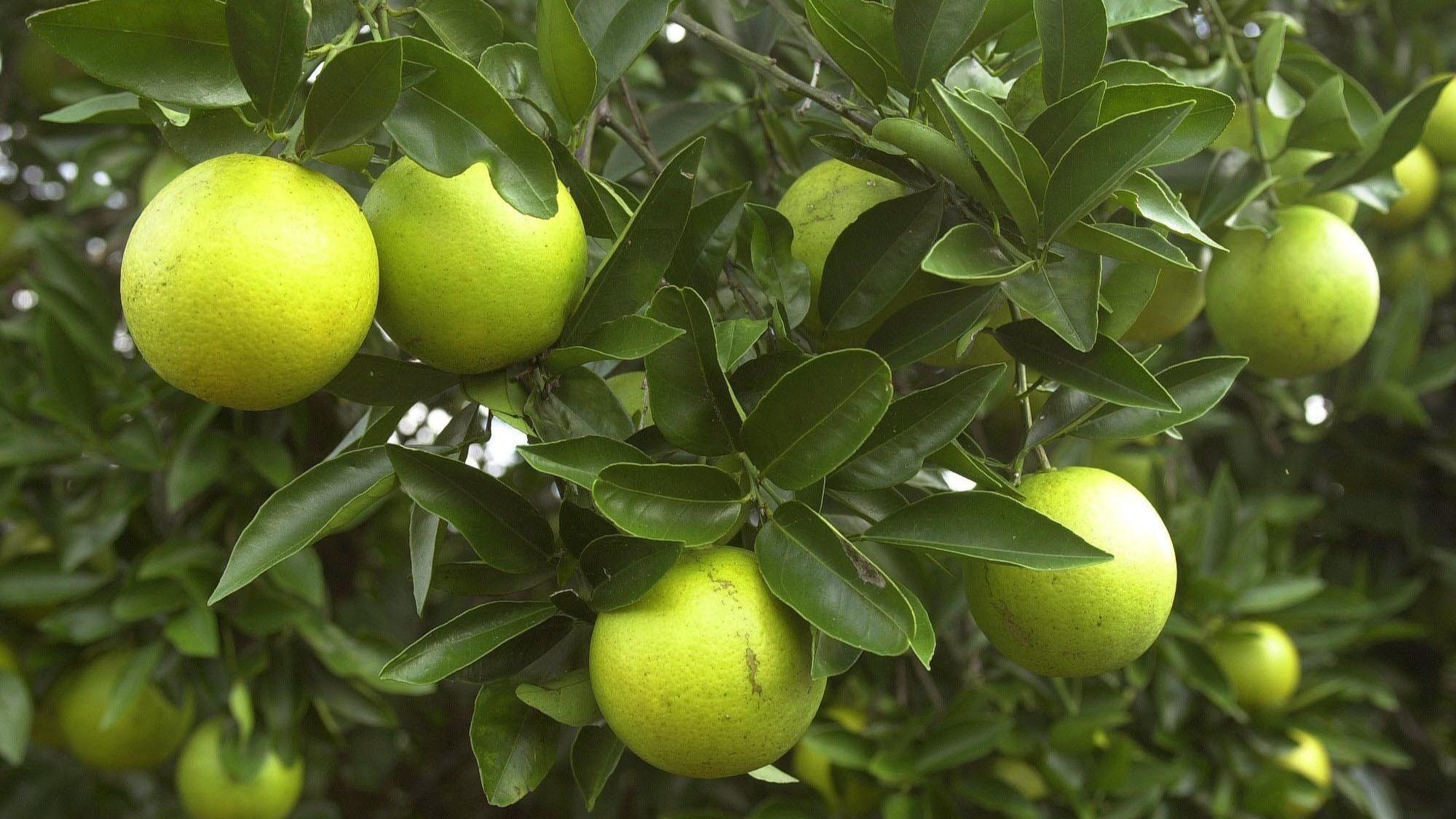 February Is The Best Time To Prune Citrus Trees Orlando