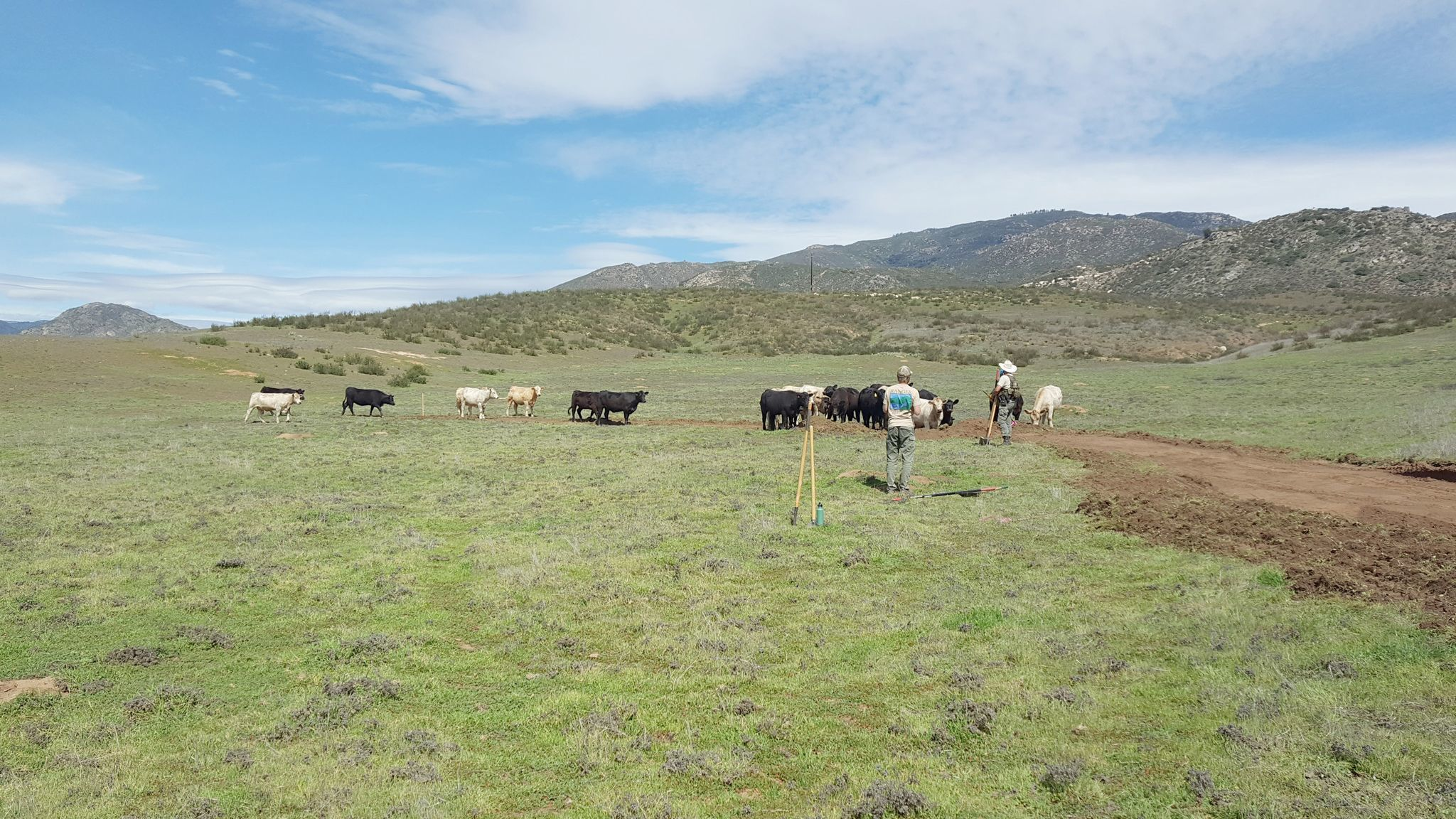 Cows roam the Pamo Valley area where crews work to build the 3-mile segment of the Coast to Crest Trail near Ramona.