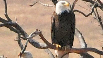 Resident bald eagles feast all over the Ramona Grasslands.