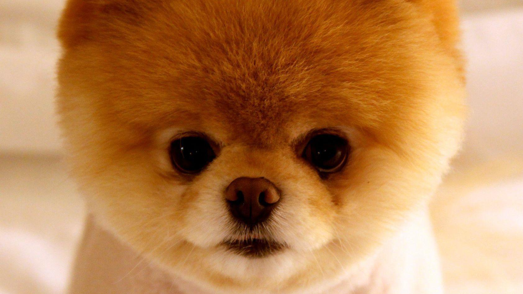Boo The World S Cutest Dog And Idol That Kept Us Sane Is