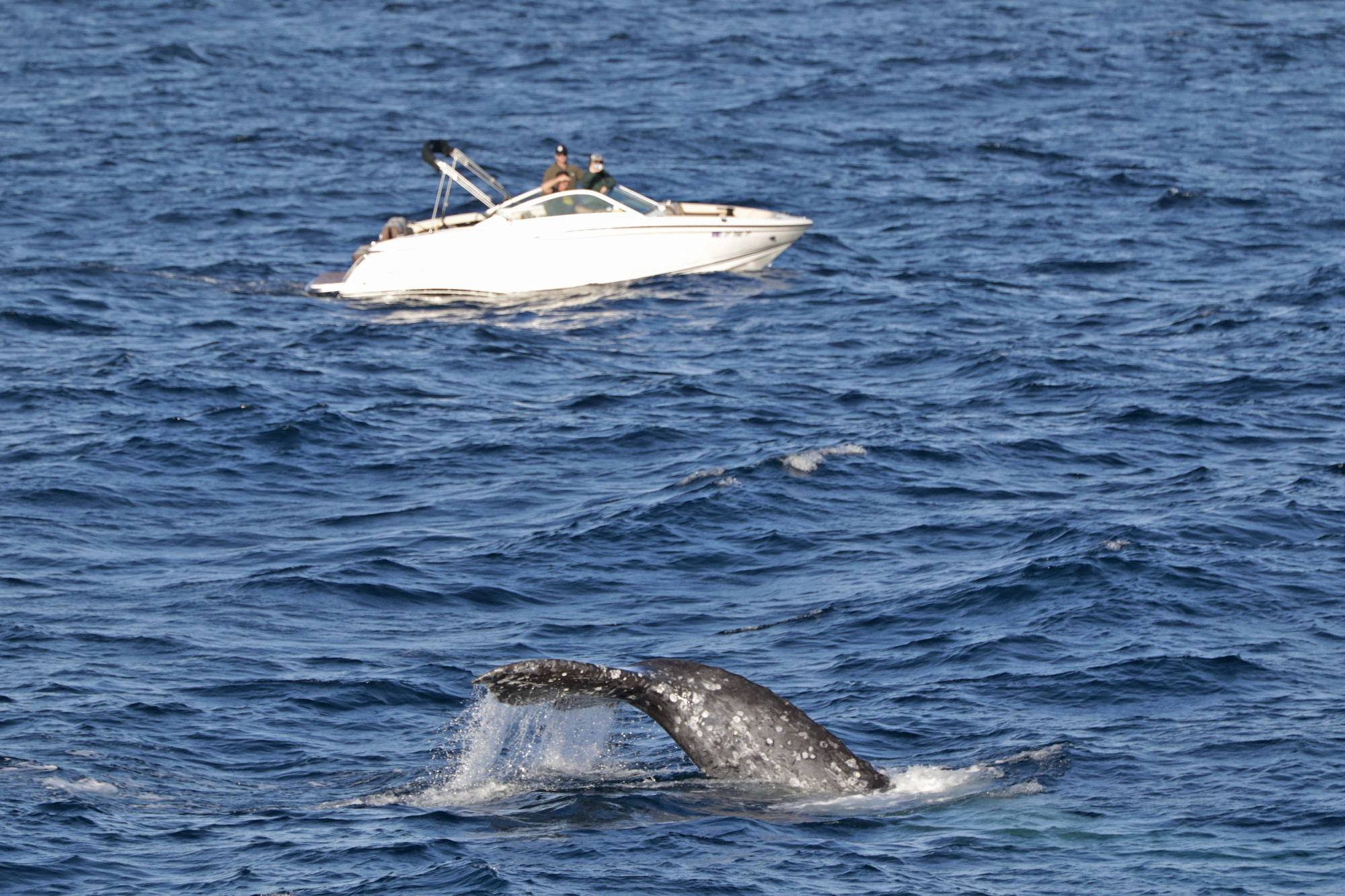 A baby gray whale's tail peeks out during one of Hornblower's Whale Watching Cruises on Jan. 29.