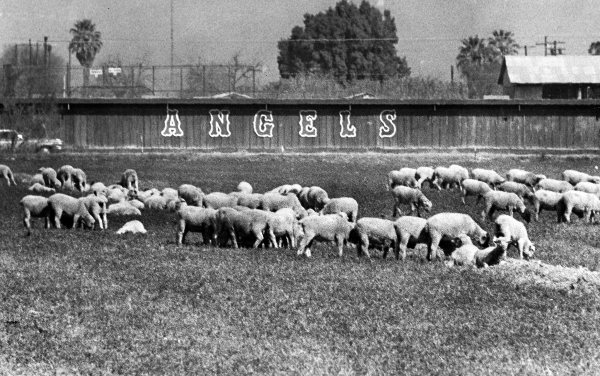March 1972: Sheep graze in a field next to the Angels' spring training camp in Holtville, California