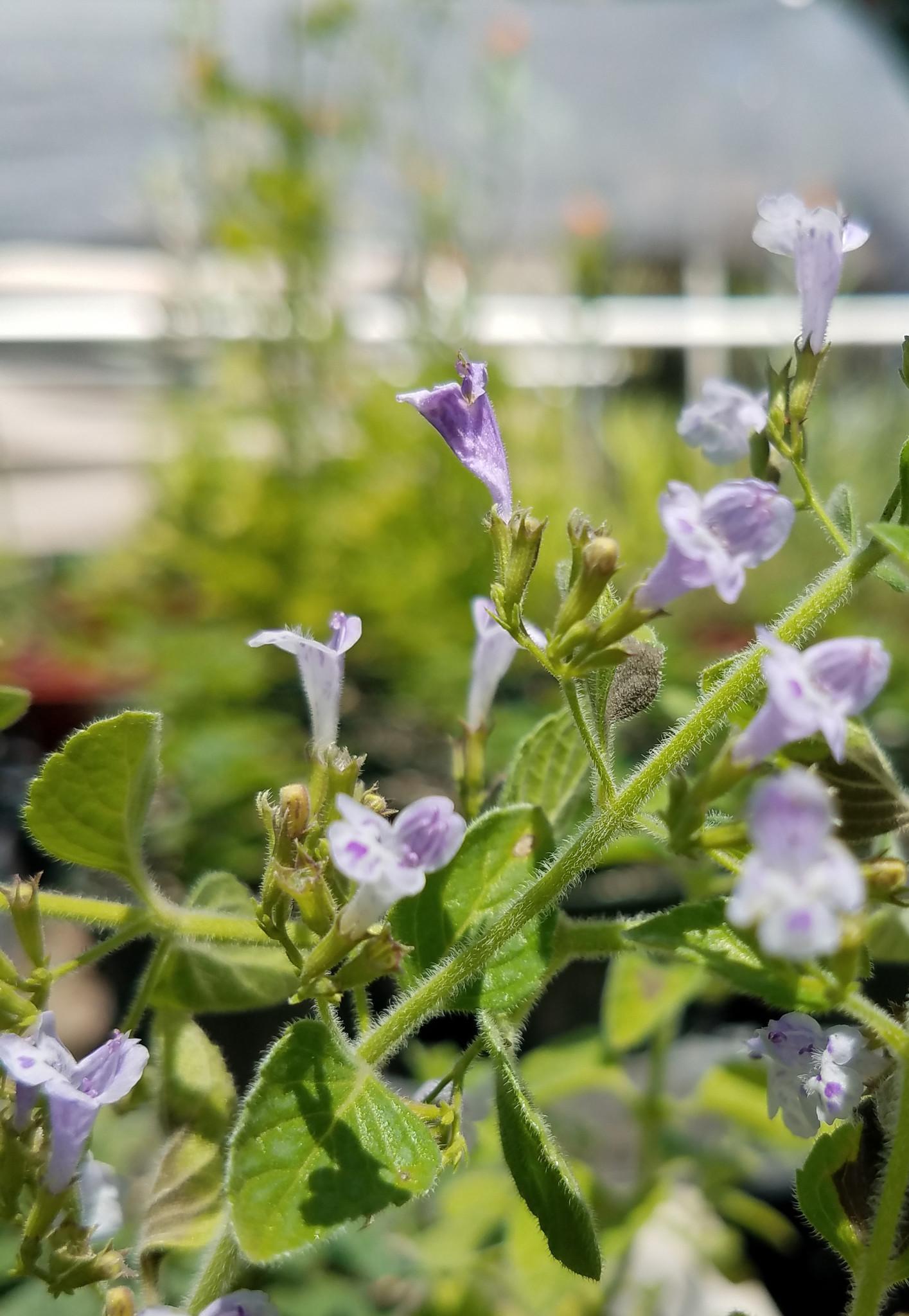 Nepitella flowers